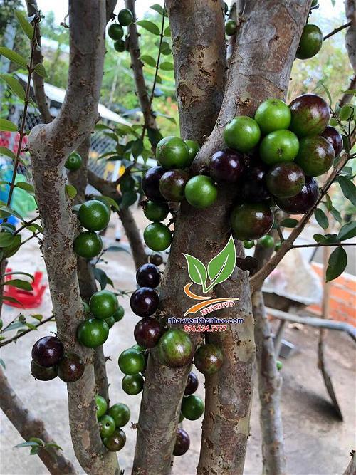 """Nho thân gỗ (nho Jabuticaba) đã tạo nên """"cơn sốt"""""""